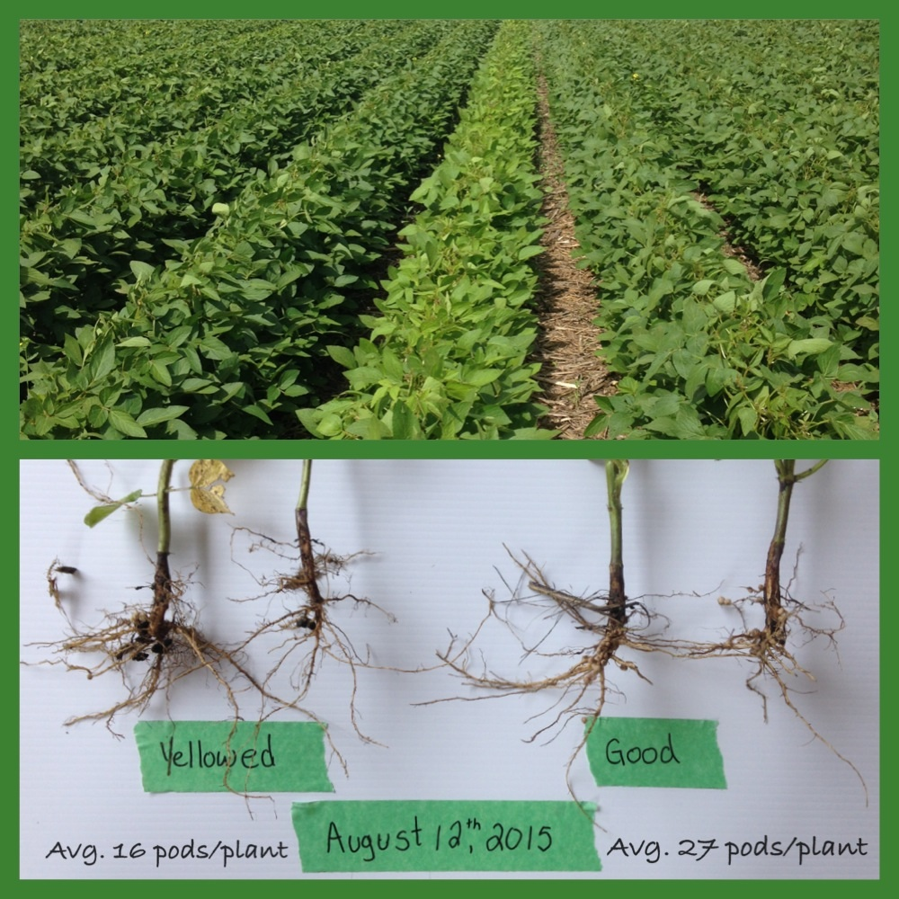 This photo shows what can happen if soybeans don't get double inoculation on virgin soybean ground.